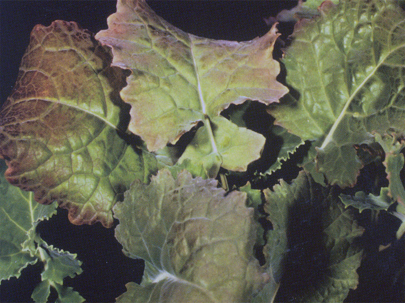 Fosforas augalams